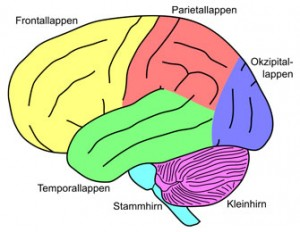 Das menschliche Gehirn besteht aus mehreren Gehirnen